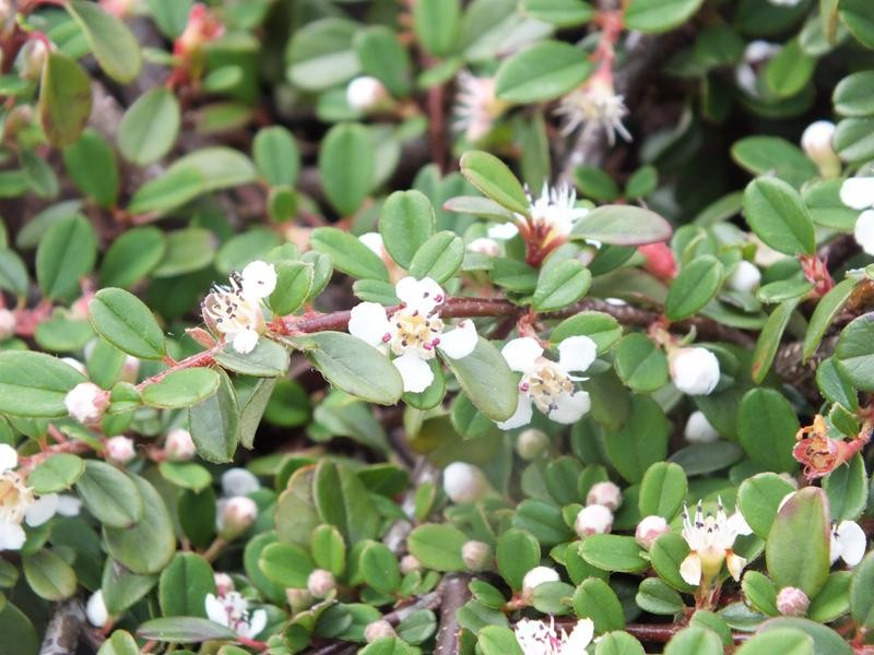 Cotoneaster procumbens 39 queen of carpets 39 shrubs plants - Cotoneaster procumbens queen of carpets ...